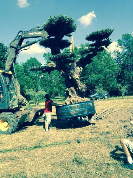 Plantation de gros sujets - olivier